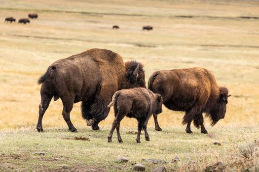 American bisons family walking follow their herd on grassy valley in natural park.