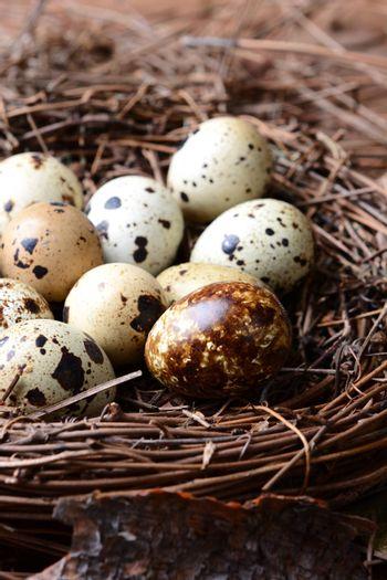 Closeup of a nest full of quail eggs. The nest is sitting amongst twigs and leaves on the forest floor.