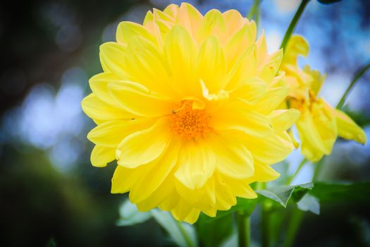 Yellow dahlia hybrid flower full blooming in the garden. Dahlia is a genus of bushy, tuberous, herbaceous perennial plants native to Mexico.