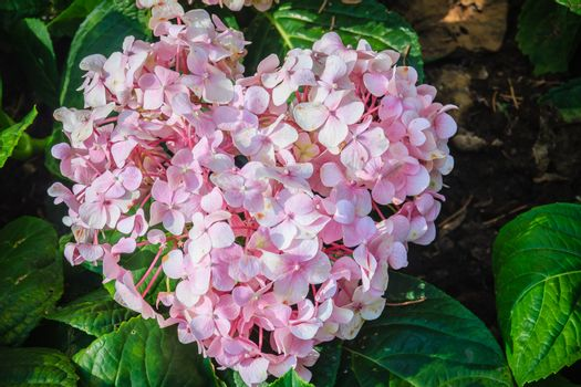 Pink heart shaped Hydrangea macrophylla flowers background. Comm