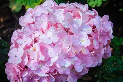 Beautiful pink Hydrangea macrophylla flowers background. Common