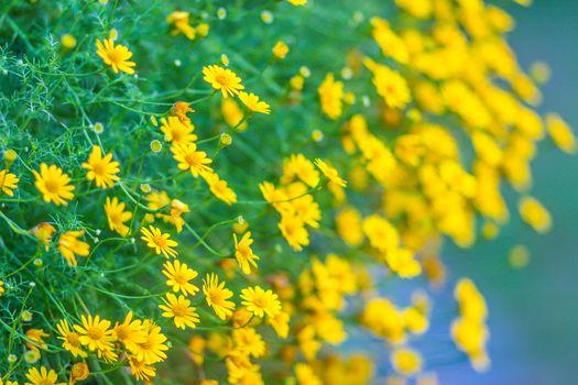 Dahlberg daisy flowers (Thymophylla tenuiloba) background. Thymophylla tenuiloba, also known as bristleleaf pricklyleaf, Dahlberg daisy, small bristleleaf pricklyleaf, golden fleece, or shooting star.