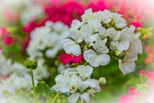 Beautiful white flowers of Pelargonium peltatum on the flowerbed for background. Pelargonium peltatum is a species of pelargonium known by the common names ivy-leaf geranium and cascading geranium.