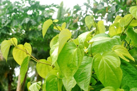 Tropical yellow betel leaves are planted in Thailand.