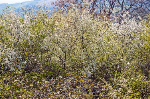Hawthorn, crataegus monogyna,  in Flower