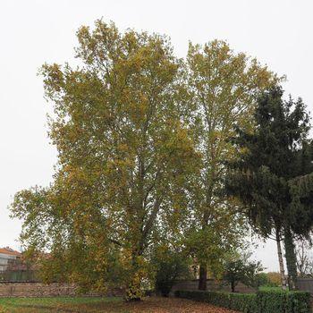 plane (Platanus) tree
