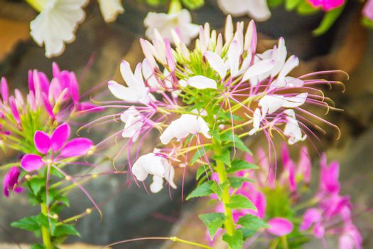 Close up beautiful pink Cleome hassleriana flower in the garden. Species of Cleome are commonly known as spider flowers, spider plants, spider weeds, or bee plants.