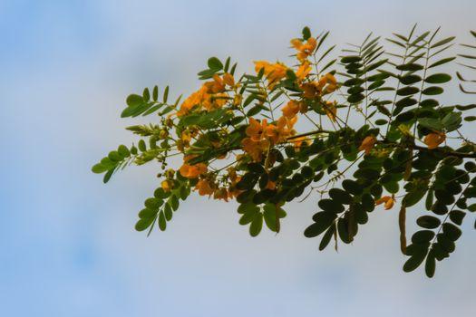 Beautiful yellow scrambled eggs, kalamona (Cassia surattensis) flower on tree with nature background.