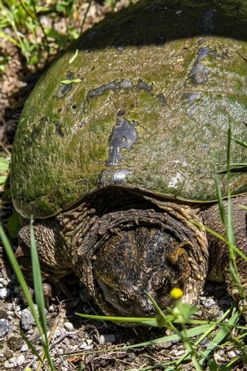A yellow-eyed swamp turtle crawls from the swamp along the wet grass to clear lake water