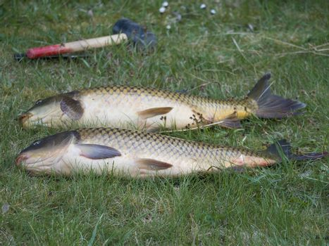 Two big close up fresh live wild common carp or European carp, Cyprinus carpio on the grass. Raw freshwater fish catch with club to kill them.