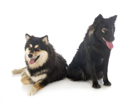 Finnish Lapphunds in front of white background