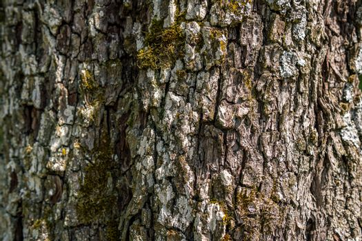 Close-up of an old tree with detailed, beautiful bark in Upper Swabia, Germany