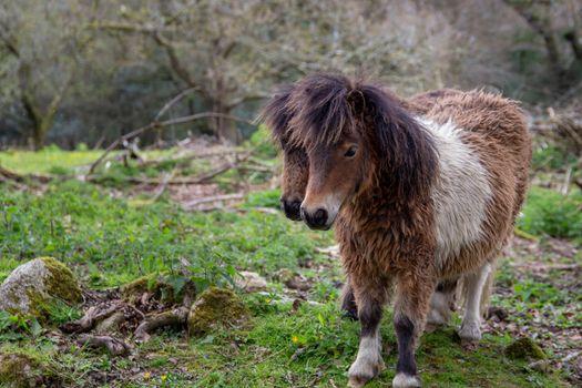 Two Shetland ponies in a field
