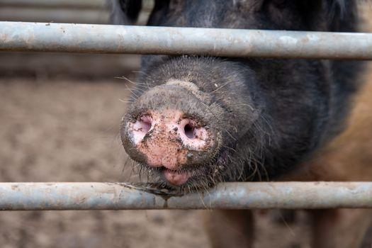 Saddleback sow pig snout