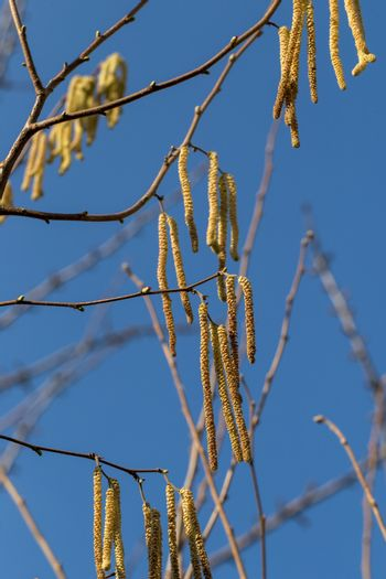 The long feathery male catkins against a clear blue sky