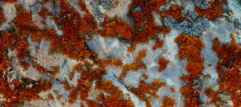 Banner of many small colonies of orange lichens. On the mountain Bjelasnica, Bosnia and Herzegovina.