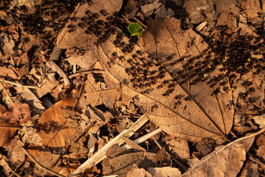 Close focus on walking black ants on dry leaves in tropical woods.