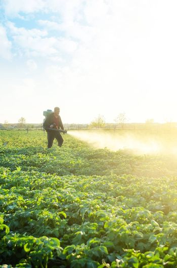 A farmer sprays a potato plantation with pesticides. Protecting against insect plants and fungal infections. The use of chemicals in agriculture. Agriculture and agribusiness, agricultural industry.