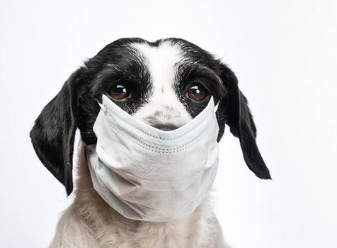 Portrait of a dog wearing protective surgical mask - protective measures against transmission of coronavirus COVID-19 disease to pets concept