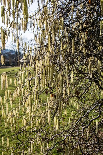 Weeping willow with yellow-flowered catkins