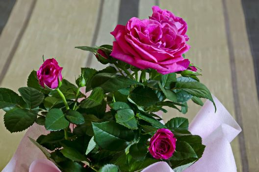 Bouquet of several fresh pink roses in a pink wrap, Sofia, Bulgaria