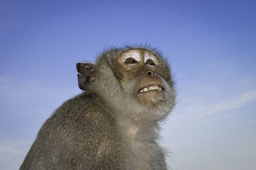 An upward profile of a macaque monkey against a blue sky background.