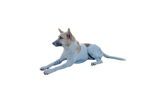 Dog or puppy isolated on white background with clipping path