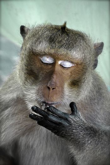 A macaque monkey licking it's fingers whilst feeding. His closed eyes show the white eyelids which look as though the monkey is wearing eye shadow.