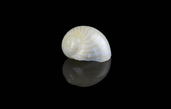 Moon shell isolated on black background. It is a marine predatory sea snail and a mollusk in the family Naticidea, Size is L2,6xH1,4xW1,75 cm