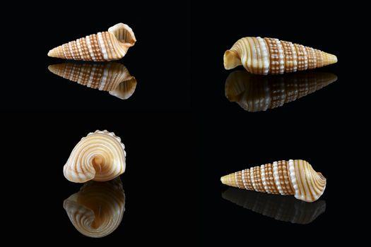 Girdled horn snail (Cerithidea (Cerithideopsilla) cingulata) on black background, Dubai, United Arab Emirates. L2,4xW1x0,75cm