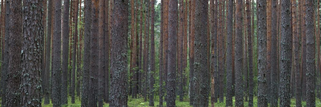 Panoramic view on summer pine forest. Pine trees planted in a ro