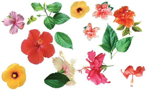 Collection of colored hibiscus flowers with leaves isolated on white background. Flat lay, top view.