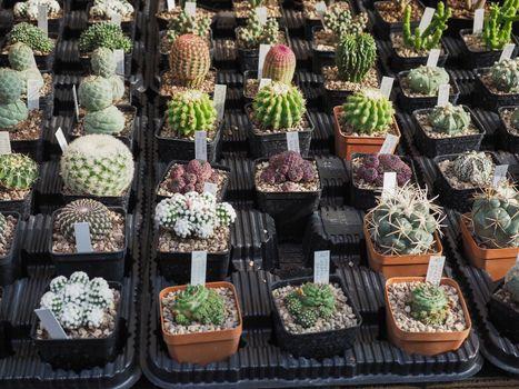 many cactus plants