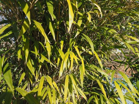 bamboo tree leaves background