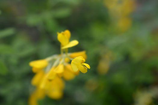 Easter broom flowers - Latin name - Genista x spachiana