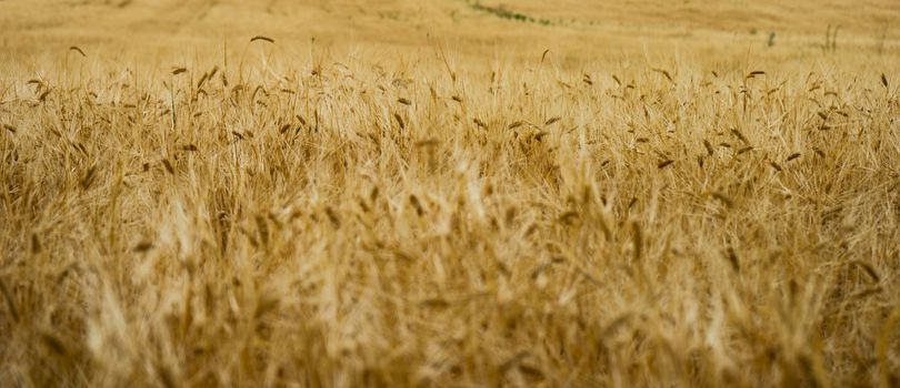 Close up of wheat ears in a field as a natural agricultural background