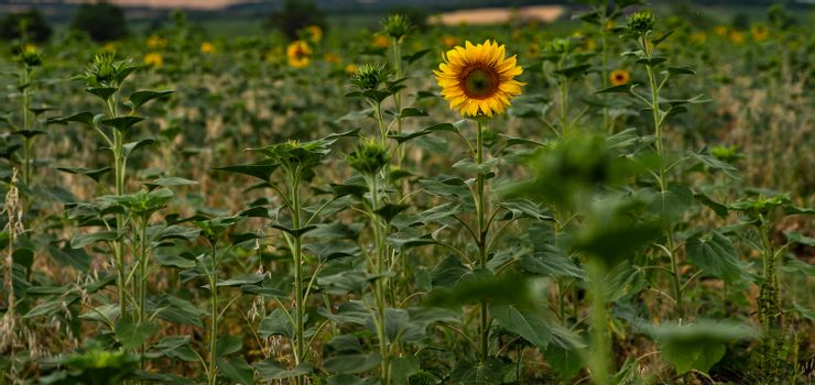 Blooming sunflowers in a field in the raining day