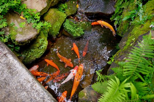 Big trouts in a park near the Byodo-in buddhist temple on Oahu, Hawaii