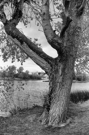 the lonley tree beside the river