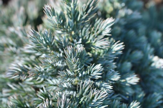 Flaky Juniper Blue Star - Latin name - Juniperus squamata Blue Star