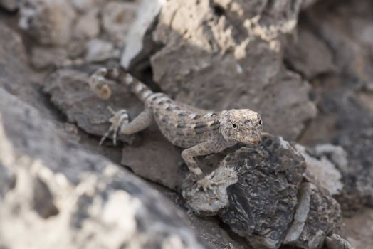 Rock semaphore gecko (Pristurus rupestris) on a rock , found in Ras Hadd, Sultanate of Oman