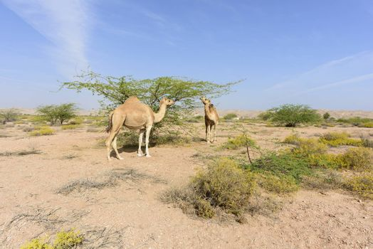 Camels eating leaves in the Acacia forest near Ras Al Hadd and Ras Al Jinz, Sultanate of OMAN