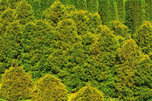 Thuja forest abstract background. View from the top