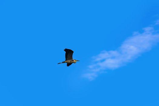 Grey heron flies in the sky