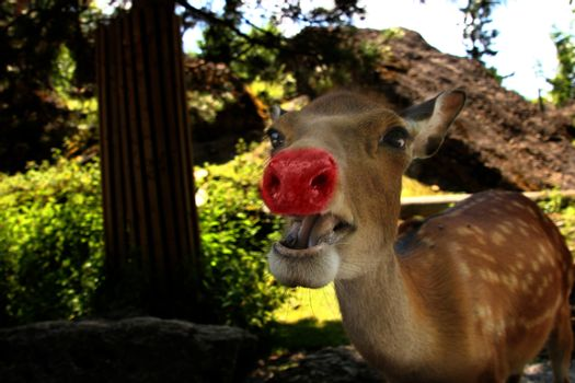 Rudolph the real one with a red nose