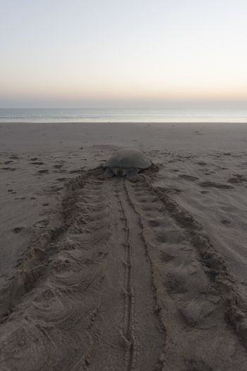 Sea turtle tired after nesting during the night and trying to get back to the ocean before the sun rise. early Morning in Ras Al Hadd, Sultanate of Oman