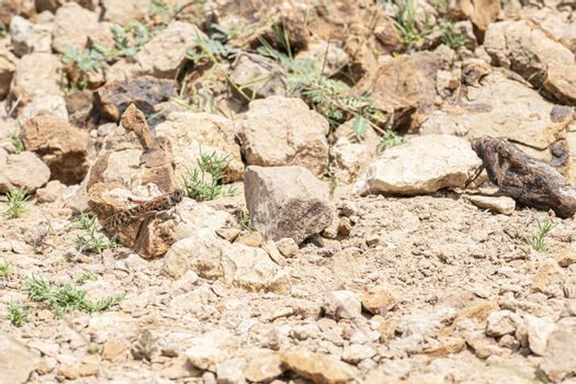 Grasshopper observed in the rocky desert near Jebel Al Faya, Sharja Emirates, United Arab Emirates, UAE