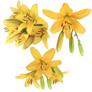 Collection of yellow Lily flowers. Set of beautiful blooming lilies on white background.