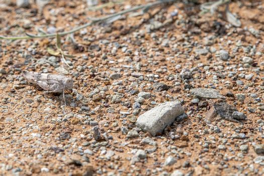 Grasshopper observed in the rocky desert near Jebel Al Faya, Sharja Emirates, United Arab Emirates, UAE