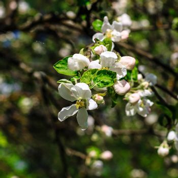 Flowers of the apple blossoms at spring season, May